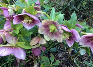 Helleborus Orientalis in bloom.