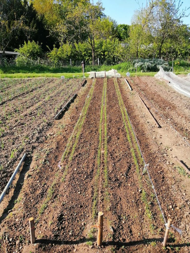 Long rows in a garden ready to be planted with carrots