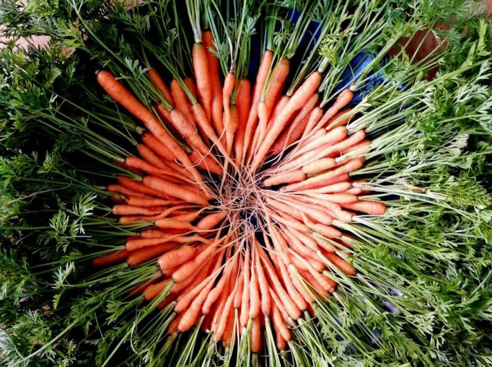 A crop of early organic carrots at Old Hall