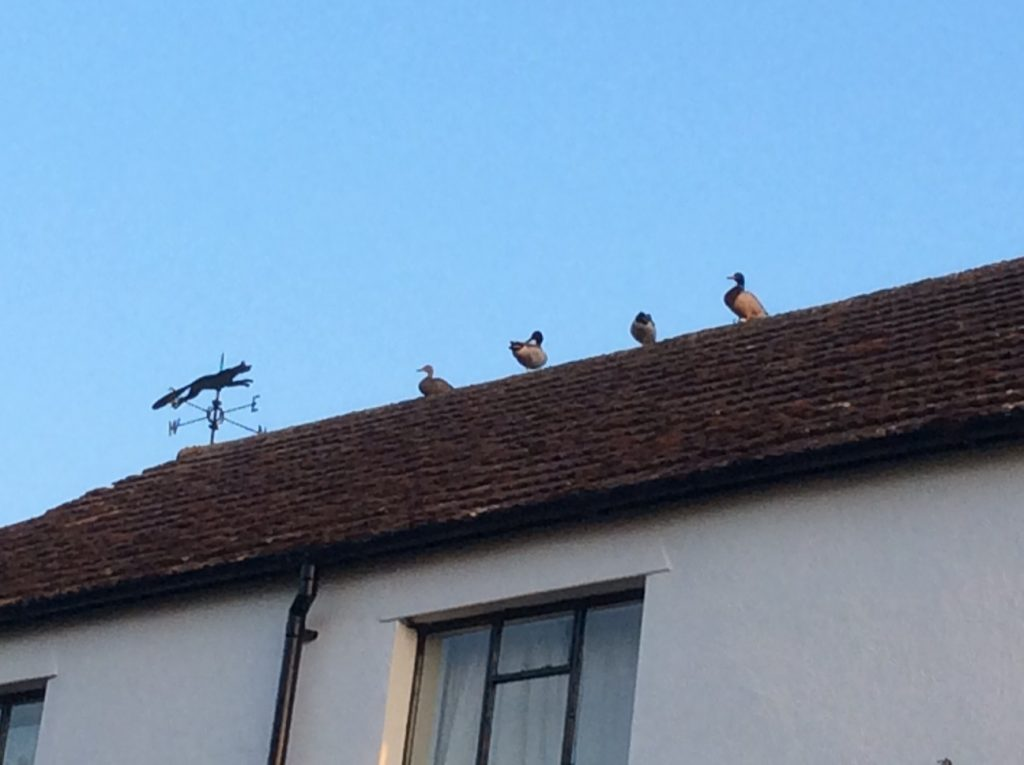 This morning there were four mallard ducks sitting on the ridge of the house roof. A good spot to keep an eye on all that is happening around them!