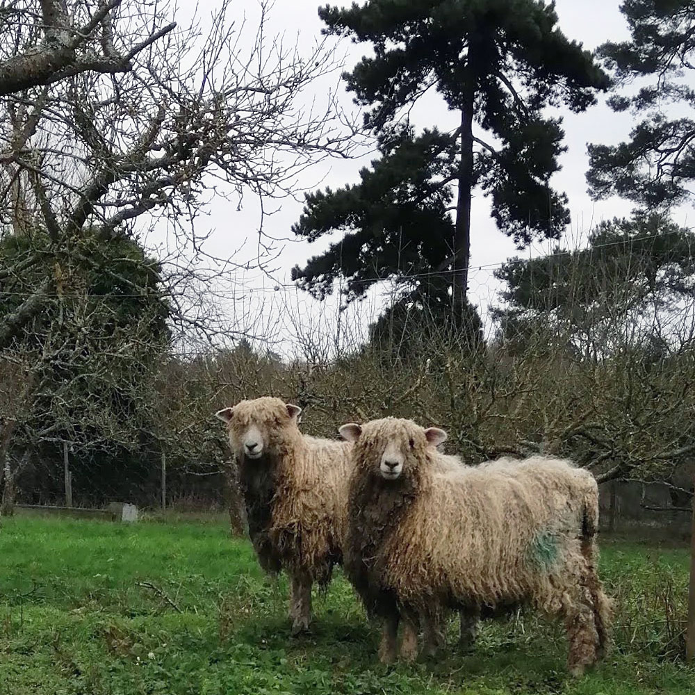 Two Lincoln Longwool Sheep in a field