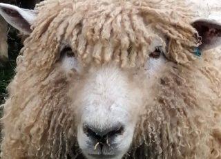 Head shot of Lincoln Longwool Sheep