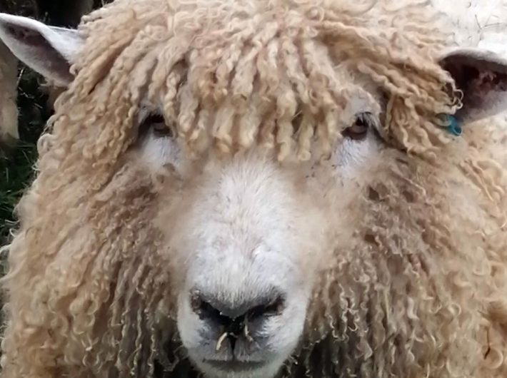 Head shot of Lincoln Longwool Sheep