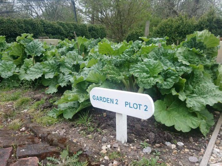 Rhubarb growing in plot number 2, Valley Farm Kitchen Garden at Flatford, Suffolk.