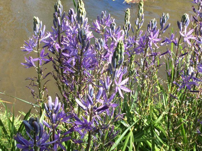 Camassia 'caerulea' beside the lake. A spring success!