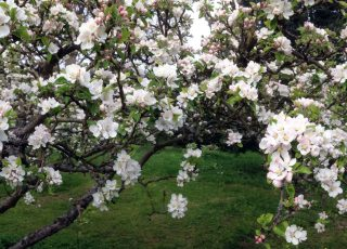 Apple trees in bloom at Old Hall Community in East Bergholt.