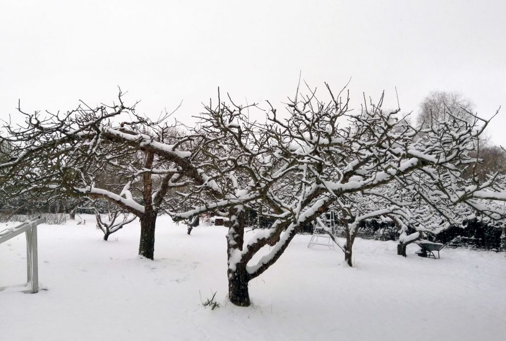 Apple trees in the snow at Old Hall Community in East Bergholt.