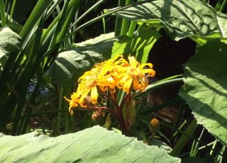 Ligularia dentata plant with yellow flower growing through Petasites japonicus (butterbur)