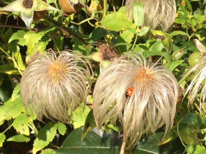 Ladybird on a clematis tangutica seedhead